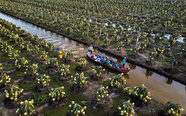 Tien Giang ameliore la qualite des fruits du dragon pour l'exportation hinh anh 1