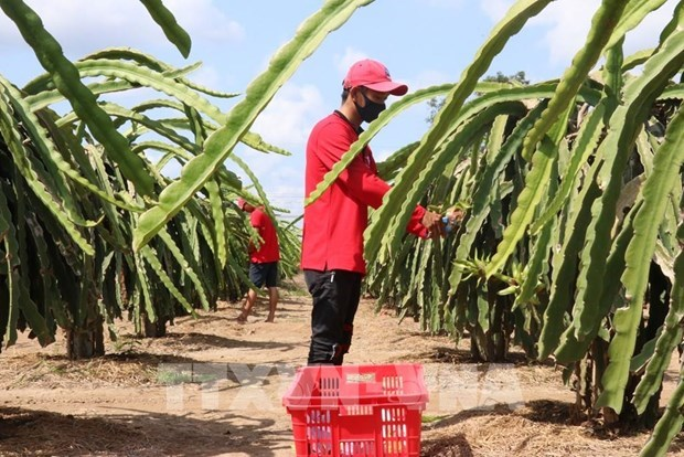Tien Giang ameliore la qualite des fruits du dragon pour l'exportation hinh anh 2
