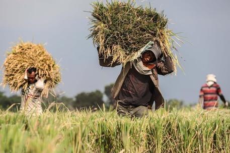 La CE envisage d'imposer les importations de riz du Cambodge et du Myanmar hinh anh 1