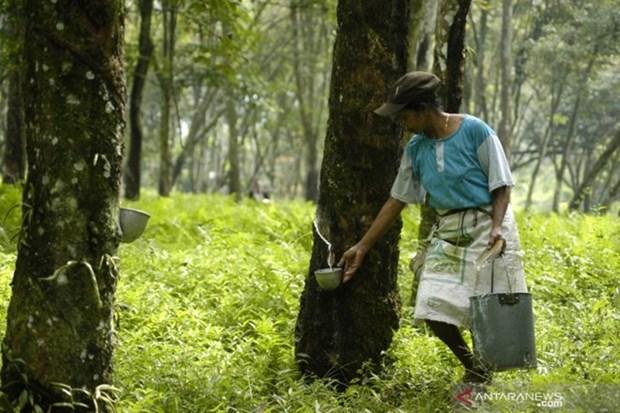 La Thailande, l'Indonesie et la Malaisie vont reduire leurs exportations de caoutchouc hinh anh 1