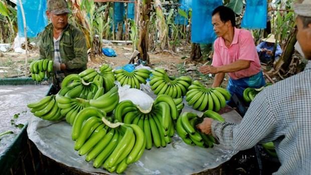 La banane deviendra la principale exportation agricole du Laos hinh anh 1