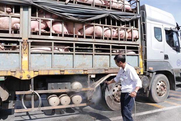 La peste porcine africaine frappe 46 des 63 villes et provinces du Vietnam hinh anh 1