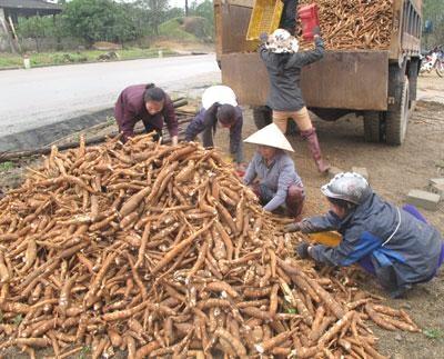 Les exportations nationales de manioc et de produits derives se portent bien hinh anh 1