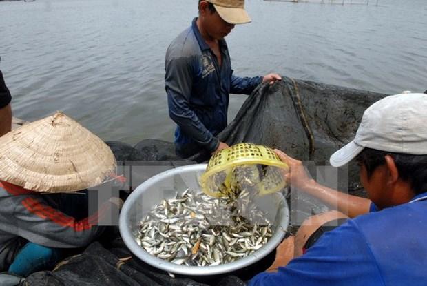 """La saison des """"ca linh"""" dans le delta du Mekong hinh anh 1"""