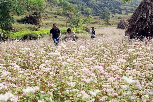 Ouverture de la fete des fleurs de sarrasin a Ha Giang hinh anh 1