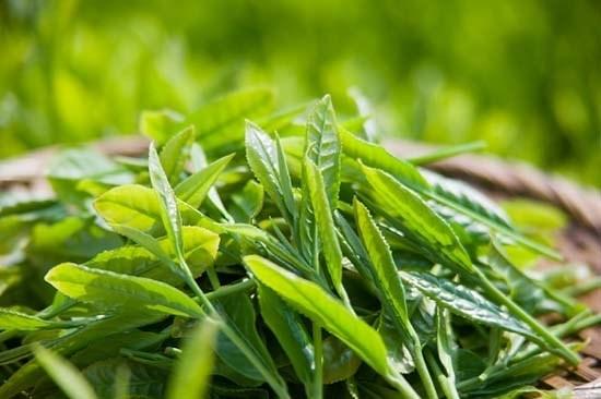 Le the: L'or vert de Tuyen Quang hinh anh 1
