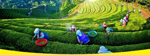 Le Festival du the de Dai Tu deploie ses essences et saveurs hinh anh 1