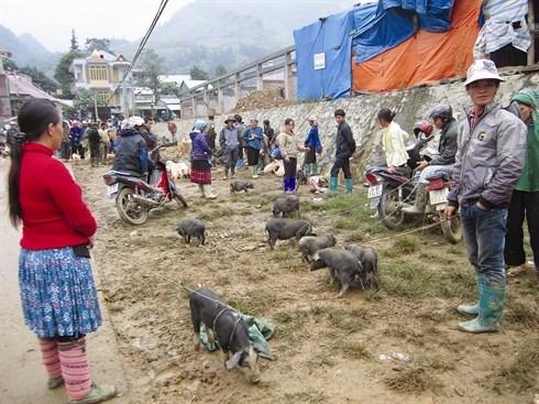 Le cochon qui se porte sous le bras, specialite du Tay Bac hinh anh 2