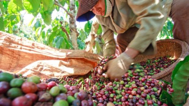 1er trimestre : bond des exportations nationales de riz et de cafe hinh anh 1