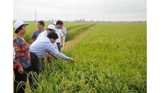 Varietes de riz : Le Vietnam est un marche strategique de Syngenta en Asie hinh anh 1