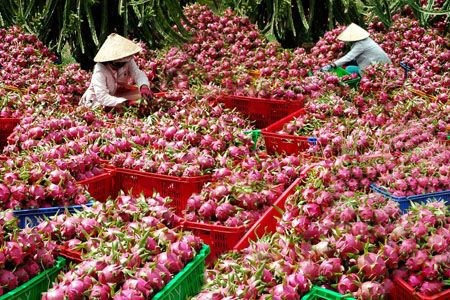 L'Australie pourrait importer des fruits du dragon vietnamiens hinh anh 1