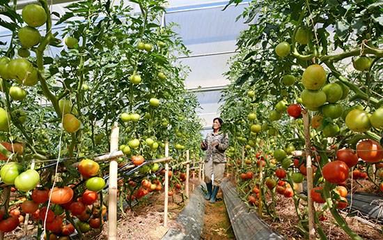 Lam Dong : attrait de 500 millions de dollars dans l'agriculture high-tech hinh anh 1