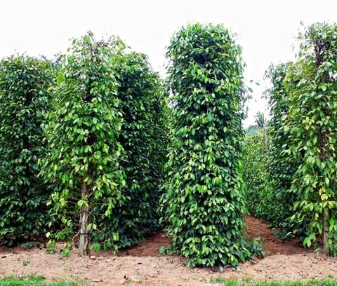 Le Vietnam table sur 148.000 tonnes d'exportation de poivre cette annee hinh anh 1