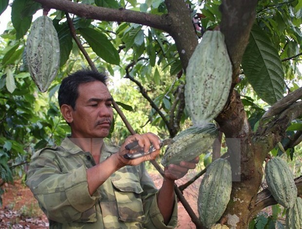 Une societe de Dong Nai exporte du cacao en Republique de Coree et au Japon hinh anh 1