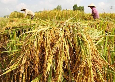 5,7 millions de tonnes de riz exportees en 2016 hinh anh 1