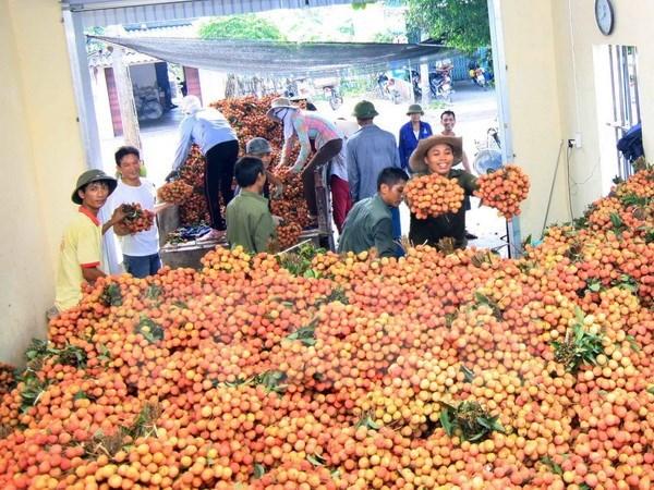 Hai Duong exporte 5.000 tonnes de litchis cette annee hinh anh 1