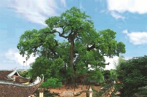 Aux racines de l'histoire, le camphrier de Bac Giang hinh anh 1