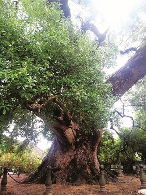 Aux racines de l'histoire, le camphrier de Bac Giang hinh anh 2