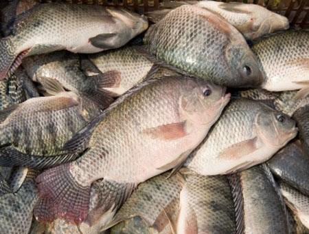 Le Vietnam exporte du tilapie vers 60 pays et territoires hinh anh 1