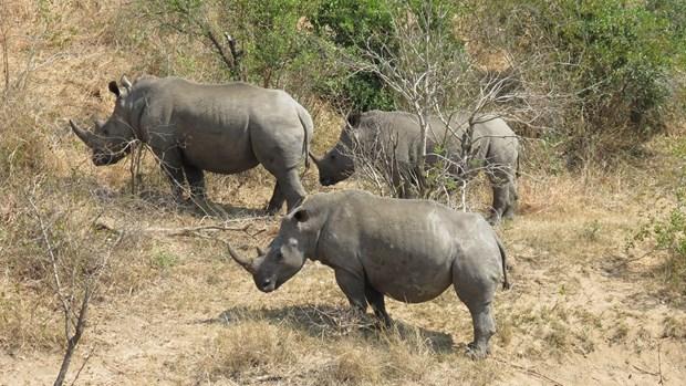 Le Vietnam appelle a ne pas legitimer le trafic des cornes de rhinoceros hinh anh 1
