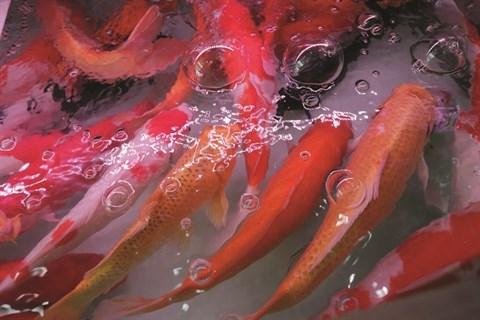 L'aquariophilie, une passion des Hanoiens hinh anh 4