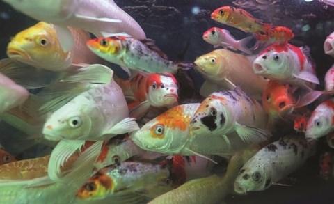 L'aquariophilie, une passion des Hanoiens hinh anh 2