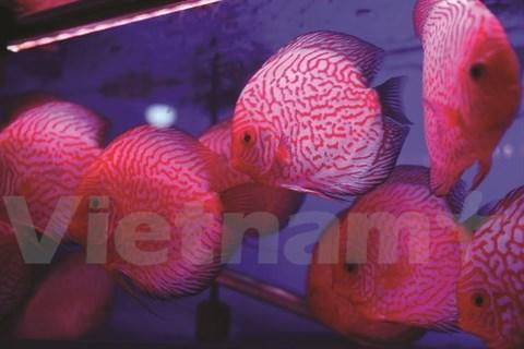 L'aquariophilie, une passion des Hanoiens hinh anh 1