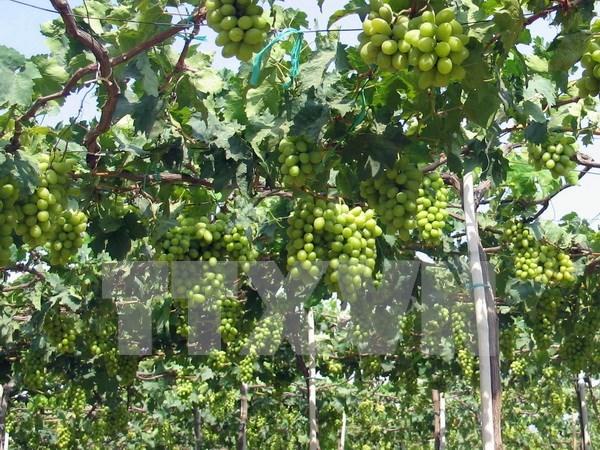 Festival de la Vigne, du Vin et de la Gastronomie de Ninh Thuan 2016 hinh anh 1