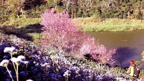 Bientot la Fete des cerisiers de Da Lat hinh anh 1