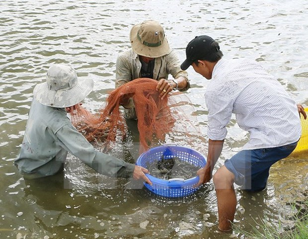 Dans le delta du Mekong, une peneiculture a reinventer hinh anh 1