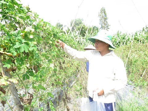 Agriculture bio, avantages et defis pour le delta du Mekong hinh anh 2