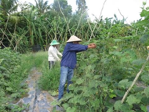 Agriculture bio, avantages et defis pour le delta du Mekong hinh anh 1