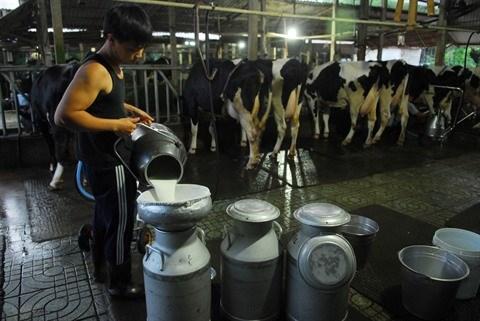 Au Sud, l'elevage des vaches laitieres releve le defi de la modernite hinh anh 1