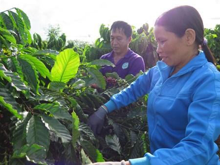 Nouvelle ruralite : quand cafeiculture rime avec developpement durable hinh anh 1