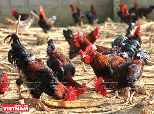 Poulet de ferme de Ba Vi, un prestigieux label hinh anh 1
