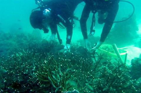 Ils plantent des coraux pour redonner vie aux recifs de Phu Quoc hinh anh 1
