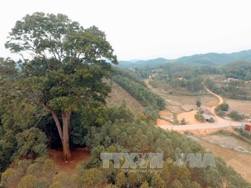 Un nouvel arbre du patrimoine a Bac Giang hinh anh 1