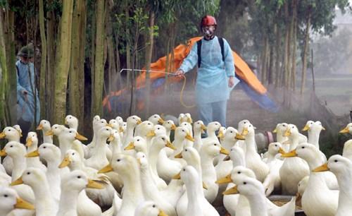 Des localites renforcent les mesures de lutte contre la grippe aviaire chez l'homme hinh anh 1