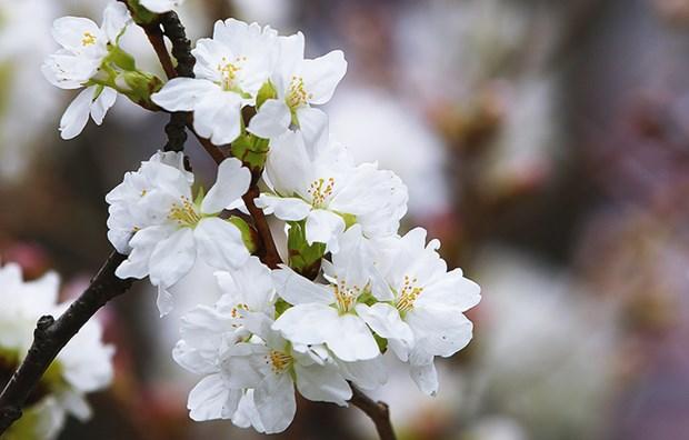 Fete des cerisiers en fleurs a Hanoi, symbole de l'amitie Vietnam-Japon hinh anh 3