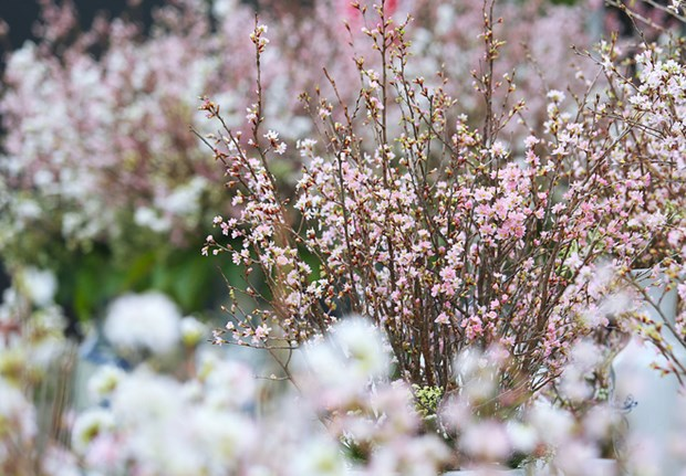 Fete des cerisiers en fleurs a Hanoi, symbole de l'amitie Vietnam-Japon hinh anh 2