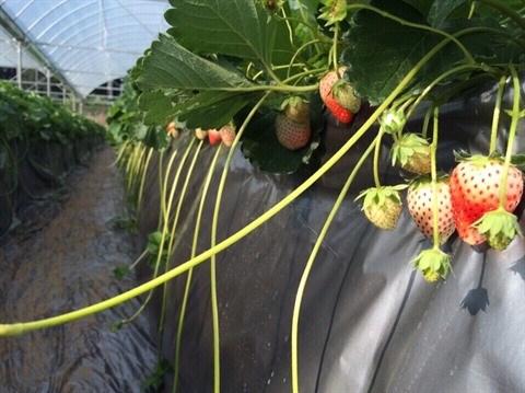 Nahana Shojiro, les fraisiers japonais de la passion a Moc Chau hinh anh 2