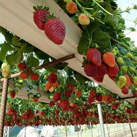 Nahana Shojiro, les fraisiers japonais de la passion a Moc Chau hinh anh 3