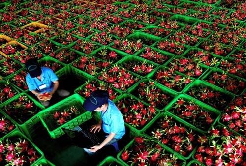 Un milliard de dollars d'exportations de fruits et legumes en quatre mois hinh anh 1