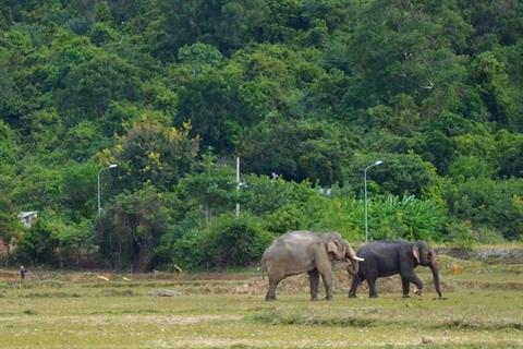 L'elephanteau le plus attendu du Tay Nguyen hinh anh 1