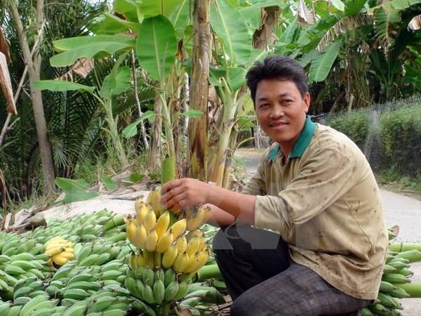 Can Tho cherche a exporter ses bananes vers la R. de Coree hinh anh 1