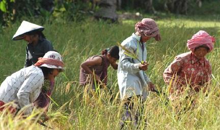 Cambodge : un projet de 61 millions de dollars pour soutenir les petits producteurs agricoles hinh anh 1