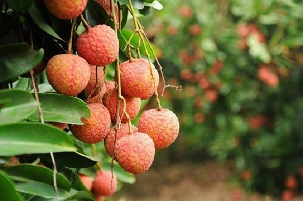 Bac Giang: 80% de litchis seront exportes vers la Chine hinh anh 1