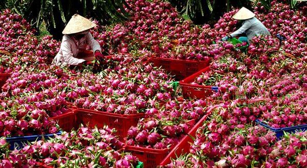 Forte hausse des exportations nationales de fruits et legumes vers le Japon hinh anh 1