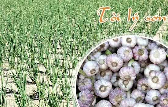 L'ail de Ly Son figure dans le Top 10 des specialites connues du Vietnam hinh anh 1