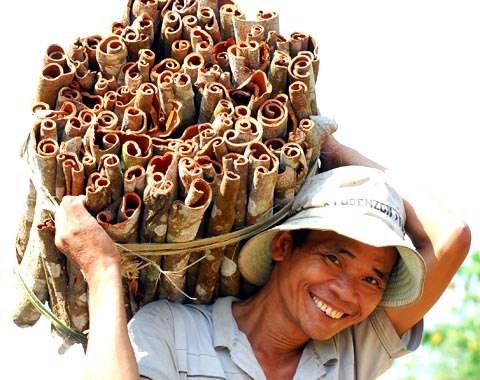 Exportations annuelles de 400 tonnes de cannelle de Tra Bong hinh anh 1